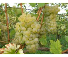 Weintrauben - Welschriesling & Chardonnay