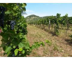 Zweigelt Weintrauben am Plattensee zu verkaufen